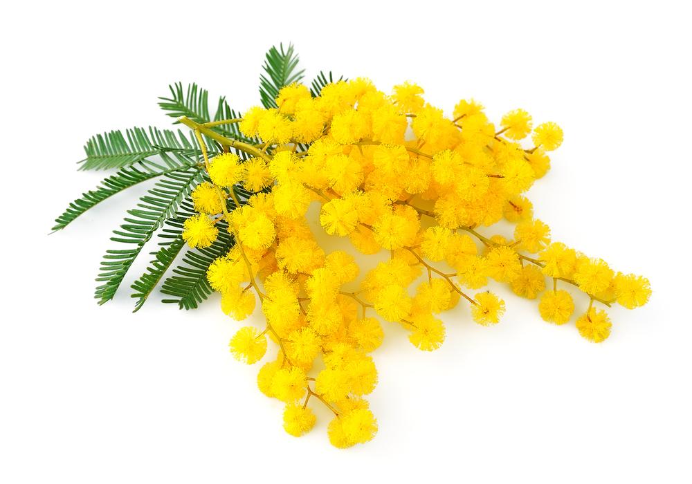 La mimosa: il fiore dell'8 marzo - Ejercicio de comprensión de texto en  italiano - aprender italiano
